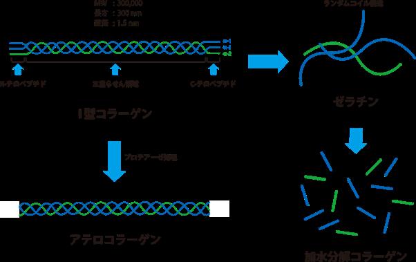 collagen_atelocollagen_gelatin_collagen_peptide